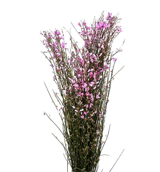 Genista teñida rosa 65 - GENROS