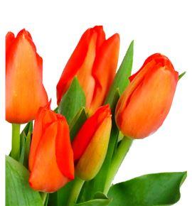 Tulipan lalibela 35 - TULLAL