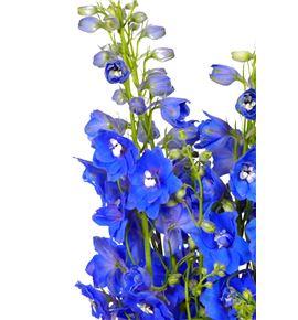 Delphinium azul - DELAZU