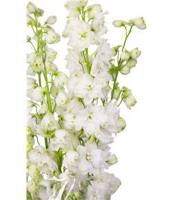 Delphinium blanco - DELBLA
