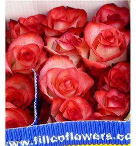 Rosa col blush 60 - RCBLU