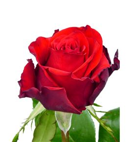 Rosa modena 40 - RMOD