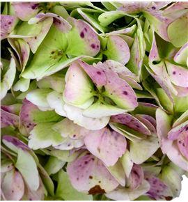 Hydr jumbo rosa/verde 60 - HYDSLCVERROS