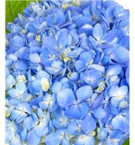 Hydr premium shocking blue 60 - HYDSLCSHOBLU
