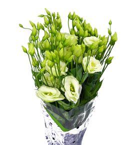 Lisianthus rosita green 75 - LISROSGRE