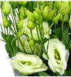 Lisianthus rosita green 75 - LISROSGRE1