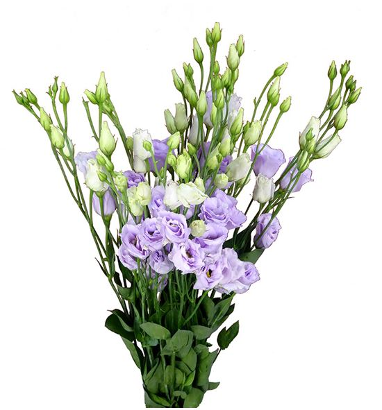 Lisianthus rosita lavander 75 - LISROSLAV
