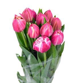 Tulipan columbus 38 - TULCOL