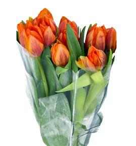 Tulipan prinses irene 36 - TULPRIIRE