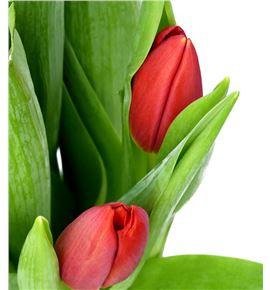 Tulipan rescue 35 - TULRES