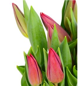 Tulipan strong love 40 - TULSTRLOVH