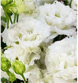 Lisianthus celebrich white 75 - LISCELWHI