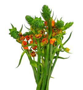 Ornitogalum dubium sunshine 50 - ORNSUPSTA