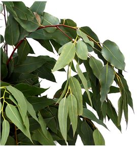 Eucaliptu willow nacional - EUCWIL