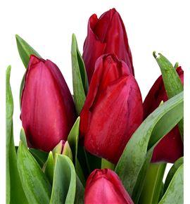 Tulipan nac ile de france - TULILEFRA