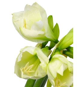 Amarilis mont blanc 80 x12 - HIPMONBLA