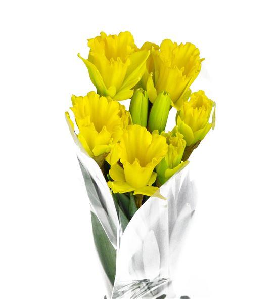 Narciso dutch master 48 - NARDUTMAS