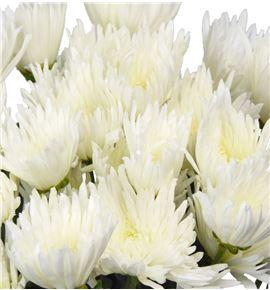 Marg hol anastasia blanca - MHANA