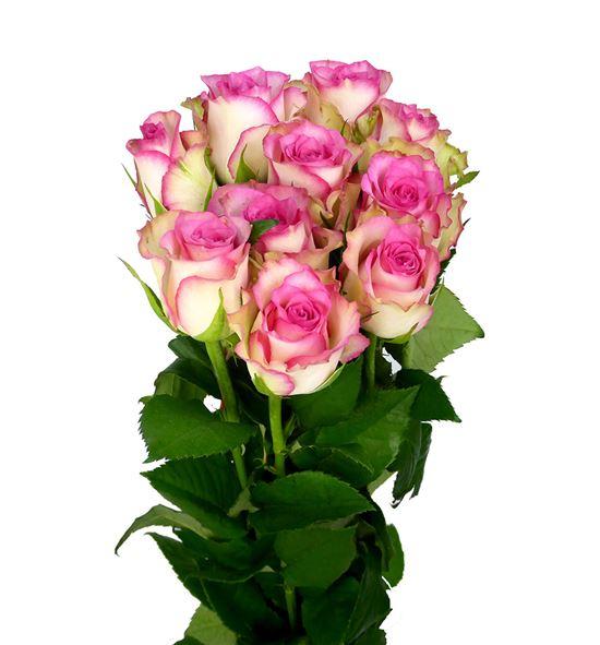 Rosa hol. monique 50 - RGRMON