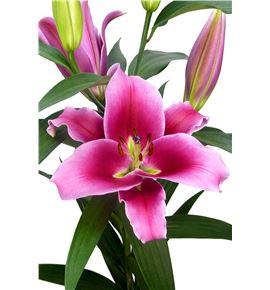 L.o. dalian 1ª 2 flores - LODAL