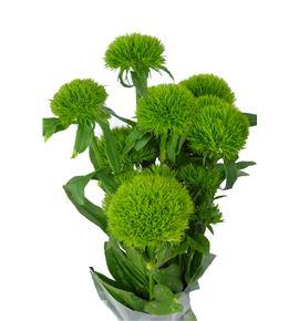 Barbatus verde - BARGRETRI