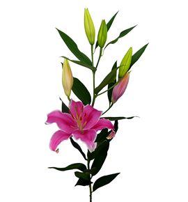 L.o. marlon 1ª 2 flores - LOMAR