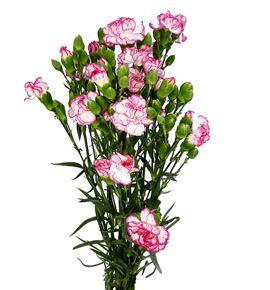Clavel mini blanco/rosa - CLAMBLAROS