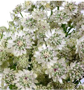 Astrantia million star 50 - ASTMILSTA