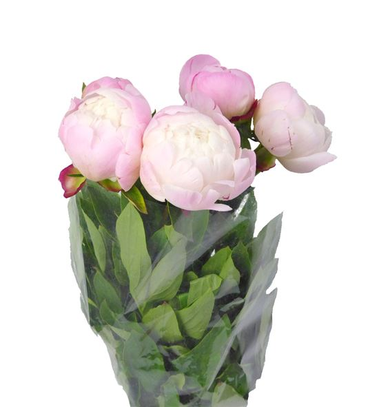 Paeonia gardenia x5 60 - PAEGAR
