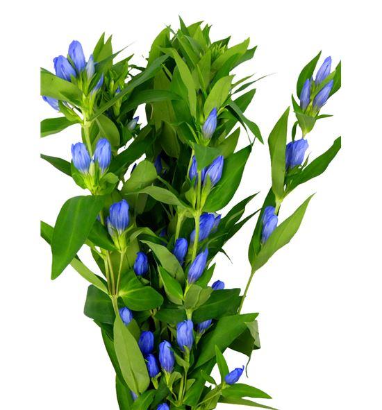 Gentiana azul - GENAZU