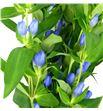 Gentiana azul - GENAZU1