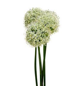 Allium mount everest 100 - ALLMOUEVE