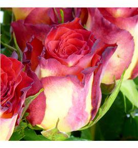 Rosa hol high society 60 - RGRHIGSOC