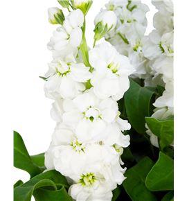 Matthiola centum white 50 - MATAIDWHI