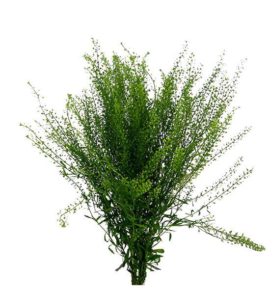 Thlaspi greenbell 65 - THLGRE