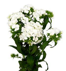 Barbatus sweet white 55 - BARSWEWHI