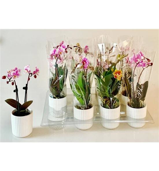 Pl. phalaenopsis mini fucsia/blanco 2t 18cm x12 -cerámica - PPHAMIN126182