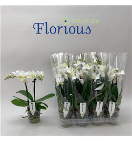 Pl. phalaenopsis white 2t 45cm x12 - PHAWHI129452