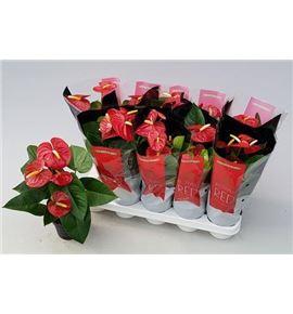 Pl. anthurium royal champ 5flo x10 - PANTROY1012425
