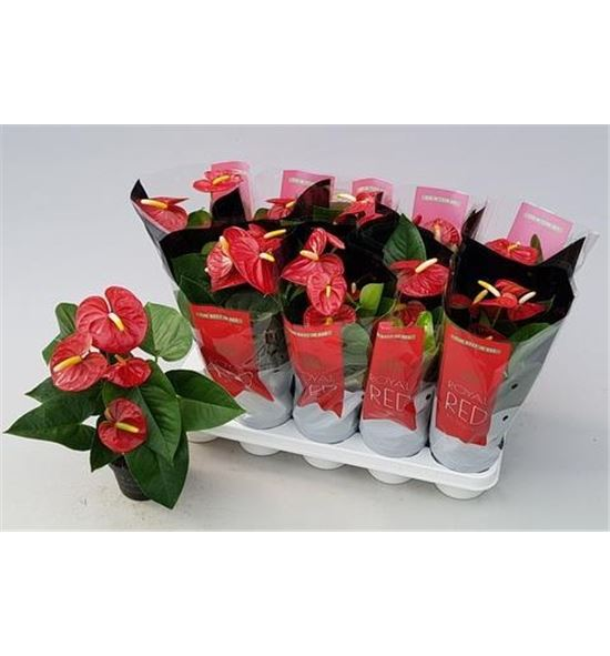 Pl. anthurium royal champ 5flo x10 - PANTROY1012425