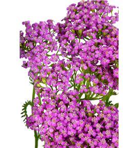 Achilea lila beauty 65 - ACHLILBEA