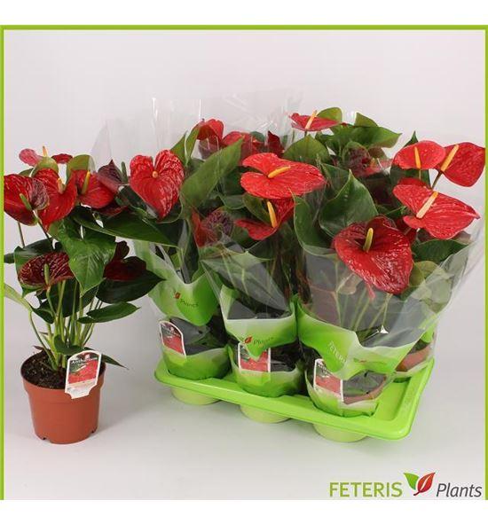 Pl. anthurium edison 6flo x6 - ANTEDI617656