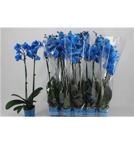 Pl. phalaenopsis azul 2t 65cm x10 - PHAAZU1012652