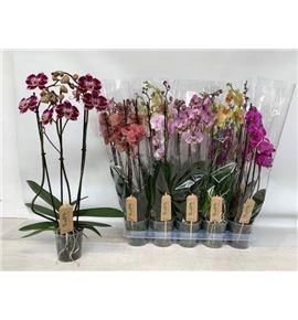 Pl. phalaenopsis mixta 4kl 3t 65cm x10 - PHAMIX41012653