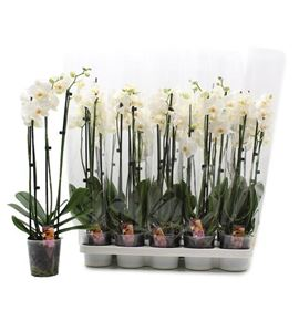 Pl. phalaenopsis newcastle 3t 60cm x10 - PHANEW1012603