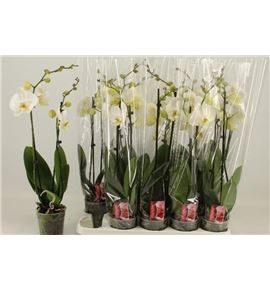 Pl. phalaenopsis white 2t 60cm x10 - PHAWHI1012602