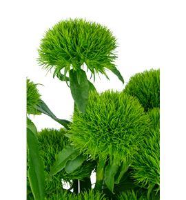 Barbatus aldo green 55 - BARGRETRI