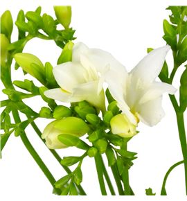 Fresia wonderfull white 50 - FREBEL
