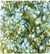 Gypsophila seco azul claro - GYPSECAZUCLA1