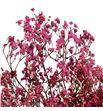 Gypsophila seco rosa claro - GYPSECROSCLA1